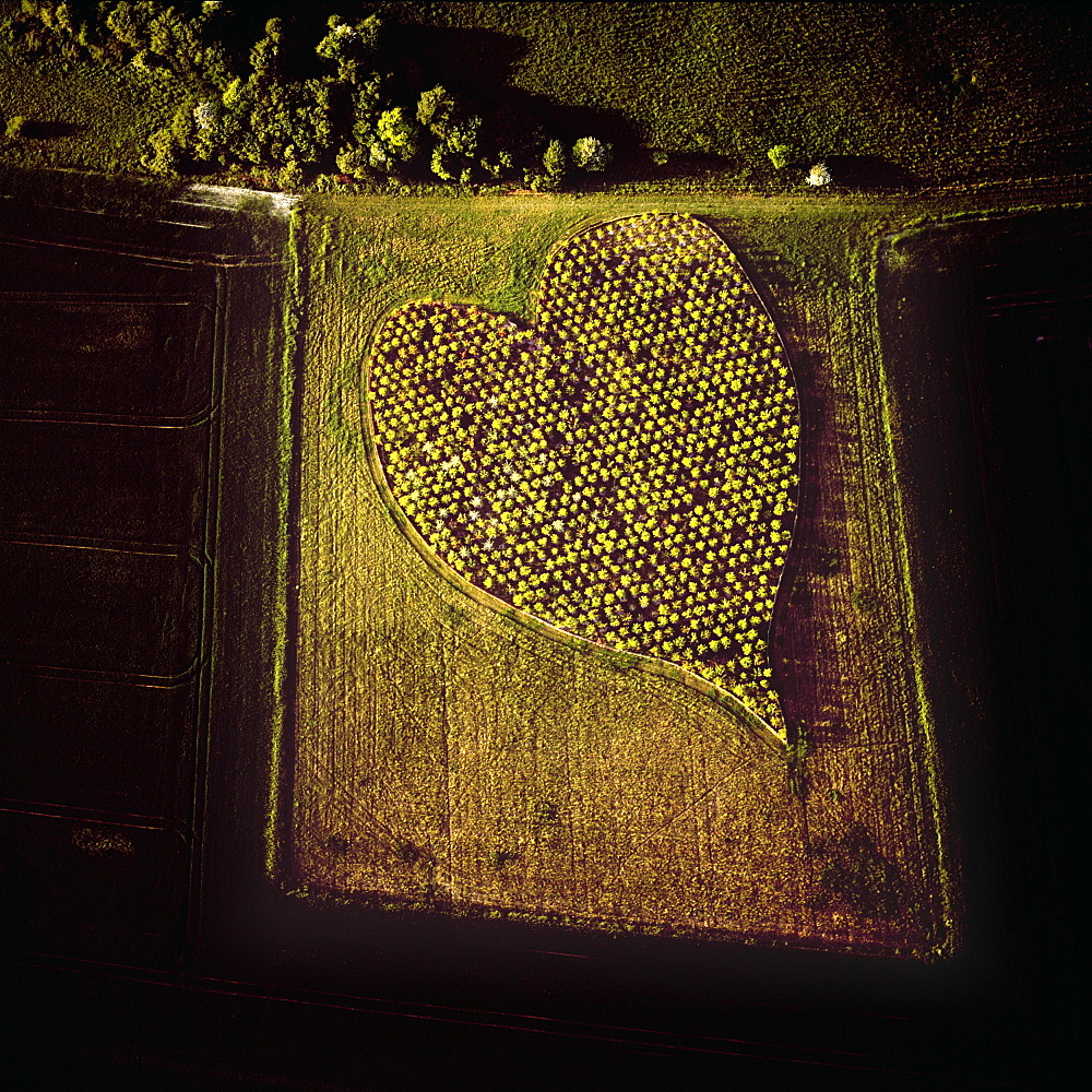 Aerial image of heart shape orchard, near Huish Hill earthwork, Oare, Wiltshire, England, United Kingdom, Europe
