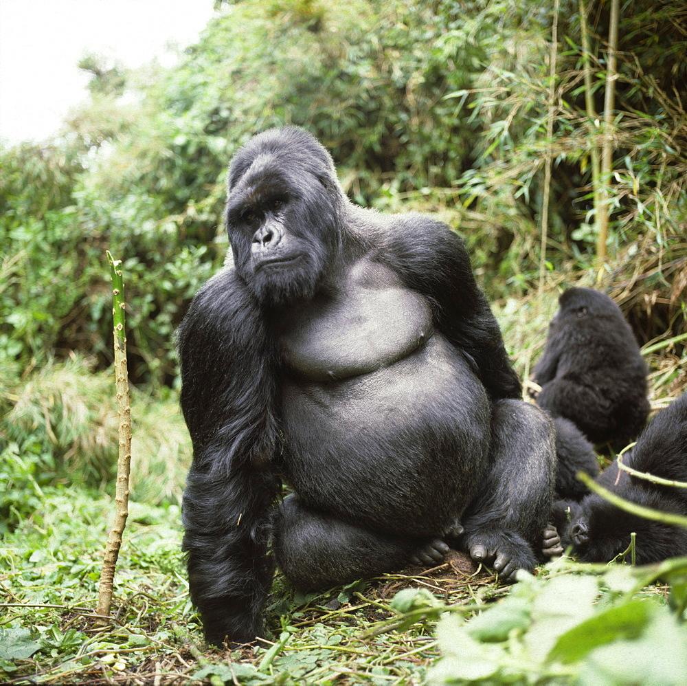 Silverback male Mountain Gorilla (Gorilla g. beringei), Virunga Volcanoes, Rwanda, Africa - 823-480