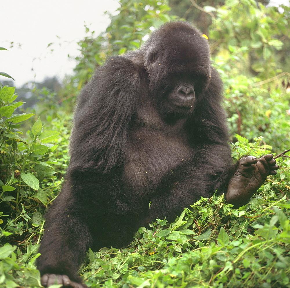 Mountain Gorilla (Gorilla gorilla beringei) young male, Virunga Volcanoes, Rwanda, Africa - 823-633