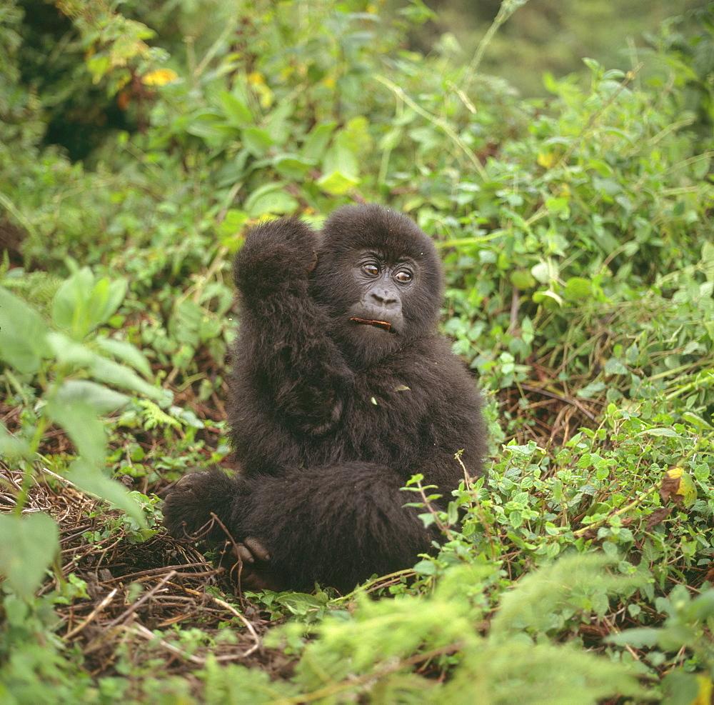 Mountain Gorilla (Gorilla gorilla beringei) juvenile, Virunga Volcanoes, Rwanda, Africa - 823-636