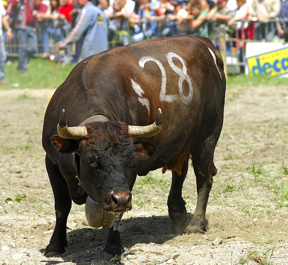 Eringer battle cow in a cow fighting arena, Valais, Switzerland, Europe