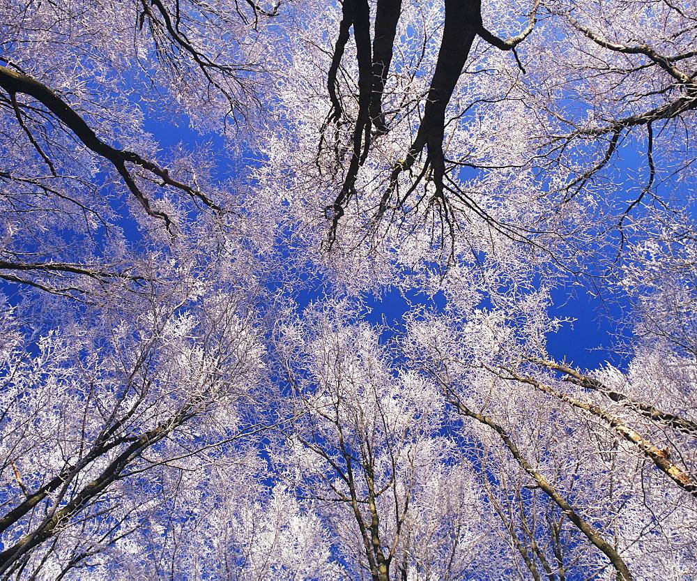 Trees with hoar frost, Kaltes Feld, Swabian Alb, Baden-Wuerttemberg, Germany, Europe