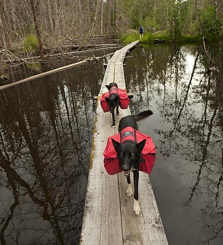 Pack dogs, sled dogs, Alaskan Huskies, carrying dog packs, backpacks, wooden boardwalk, swamp, Chilkoot Trail, Chilkoot Pass, Alaska, USA