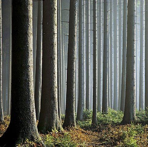 firs (Picea abies), trunks, Haidforst, Chiemgau, Upper Bavaria, Germany