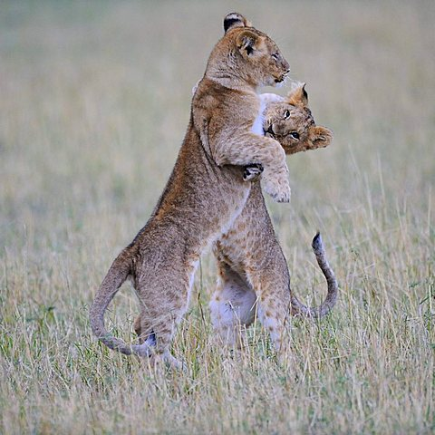 Lion (Panthera leo), playing cubs, Masia Mara, national park, Kenya, East Africa