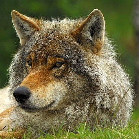 Wolf (Canis lupus) portrait, Norway, Scandinavia, Europe