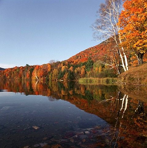 Autumnal coloured leaves, Indian summer, in Vermont, New England, USA