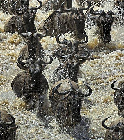 Gnu, Blue Wildebeest (Connochaetes taurinus), gnu migration, gnus crossing the Mara River, Masai Mara, Kenya