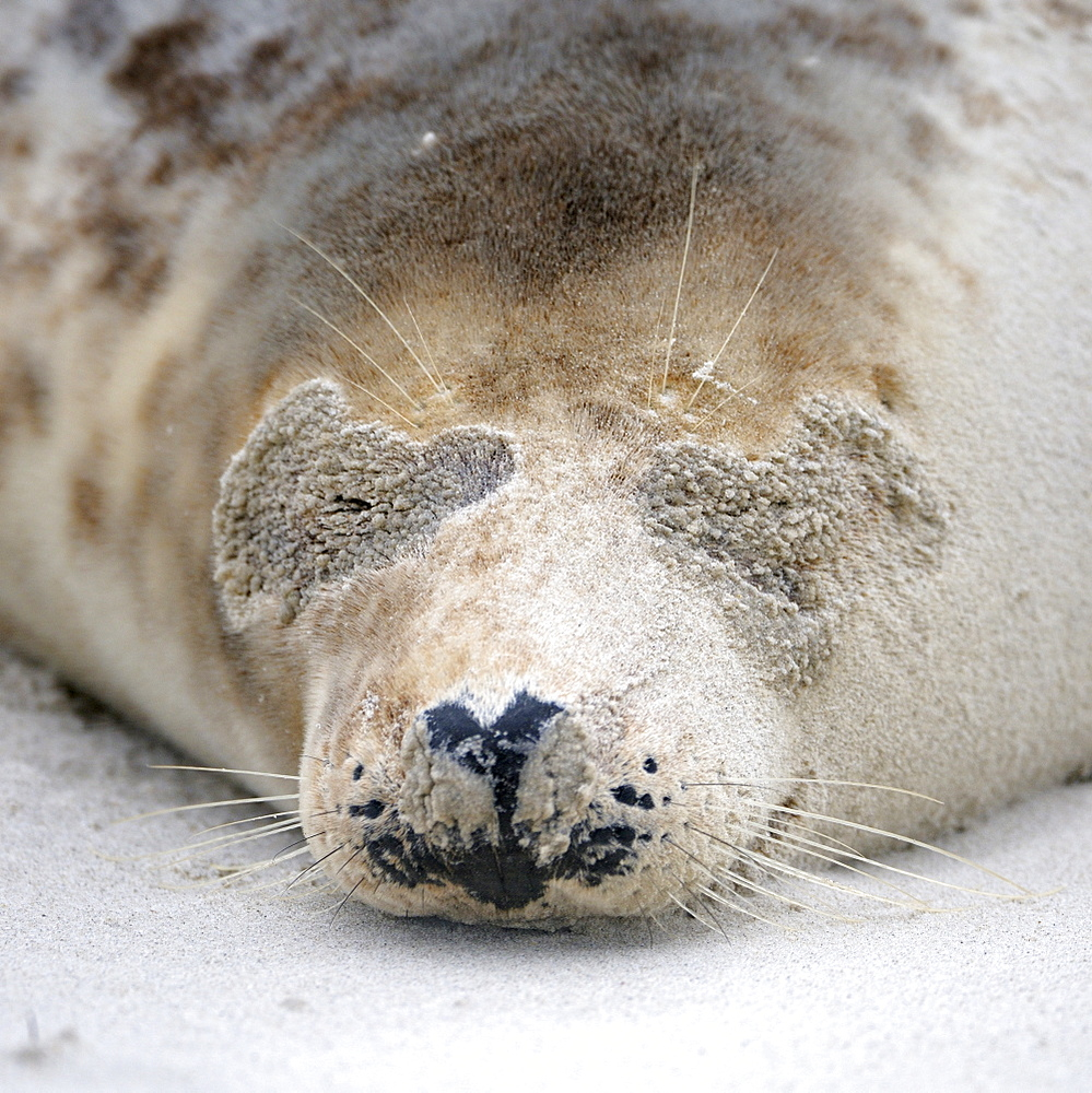 Grey Seal (Halichoerus grypus), female, portrait after sandstorm