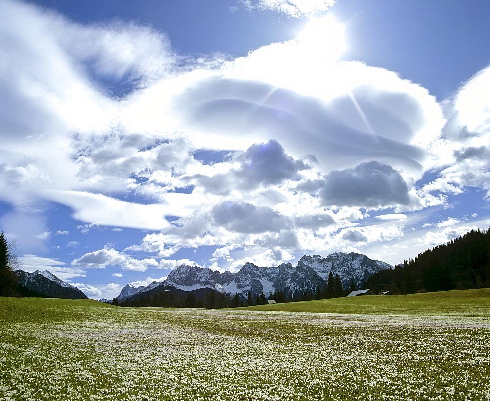 Crocus meadow in spring, Foehn (Chinook wind), near Gerold, Wetterstein Range, Upper Bavaria, Bavaria, Germany, Europe