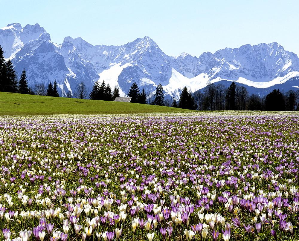 Crocus meadow near Gerold in spring, Karwendel mountain range, Upper Bavaria, Germany
