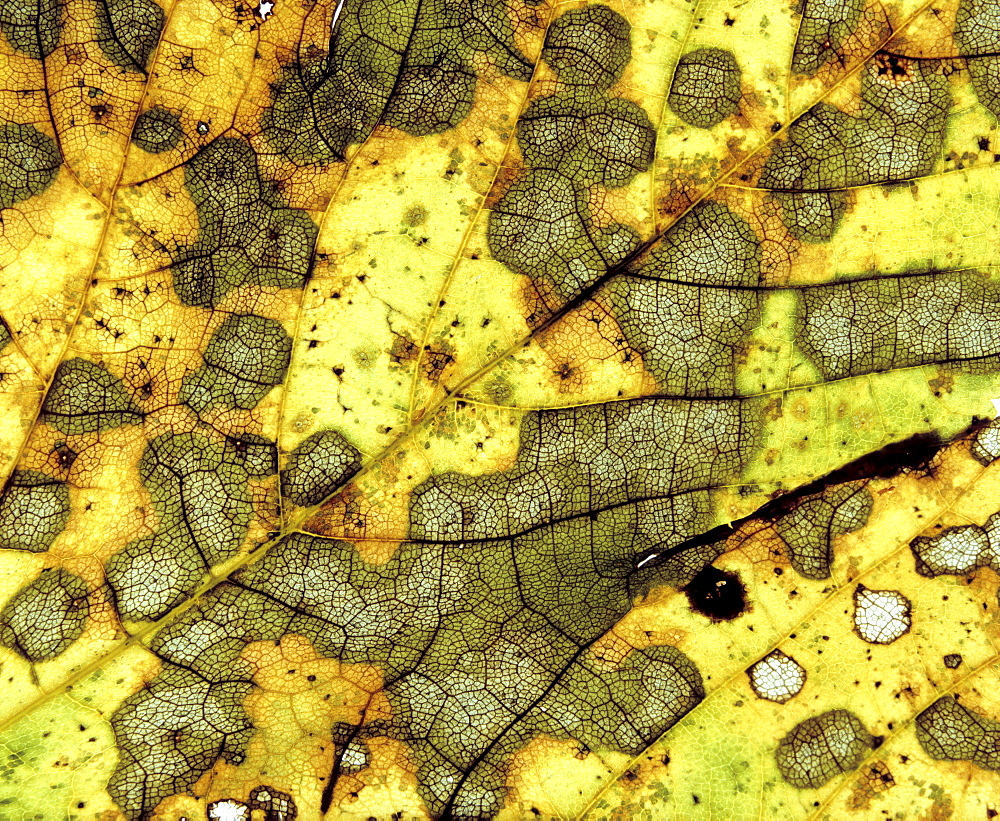 Autumn leaf, detail, macro