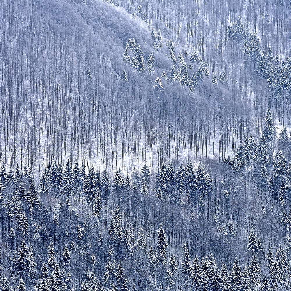 Mountain forest, firs (Picea abies) in winter
