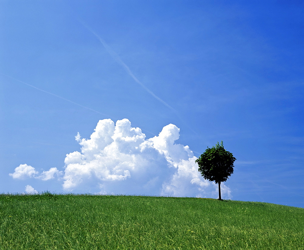 Grassy meadow and lone tree with cumulus clouds in a blue sky
