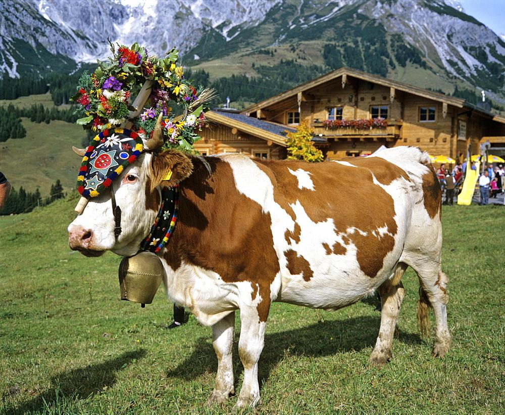 Alpine cows decorated according to custom, Austria, Europe