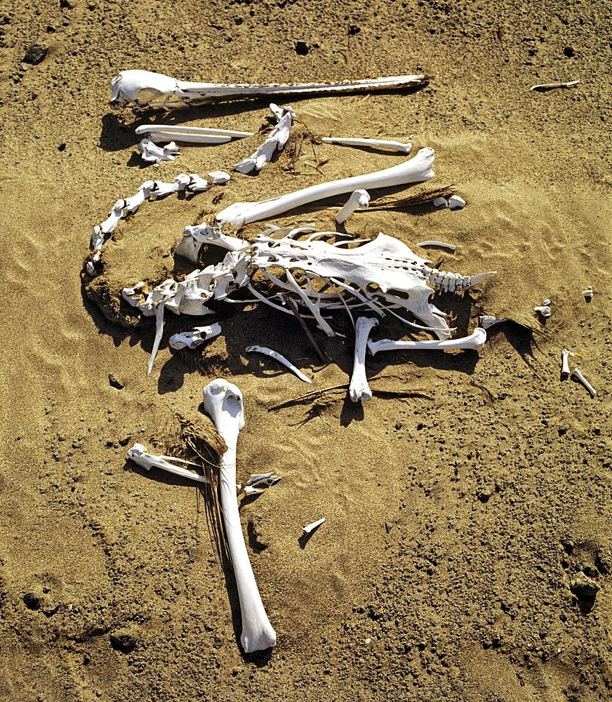 Pelican skeleton (Pelecanidae, Pelecanus)