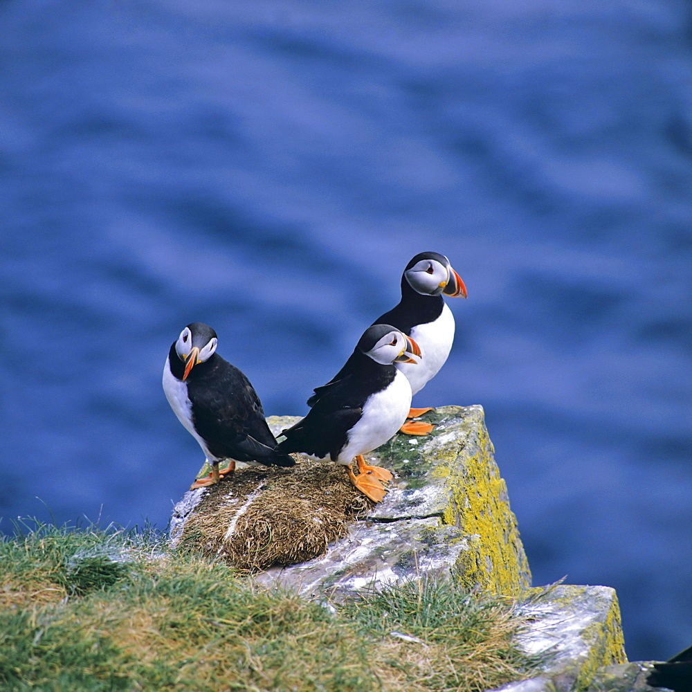 Atlantic Puffin (Fratercula arctica), Norway
