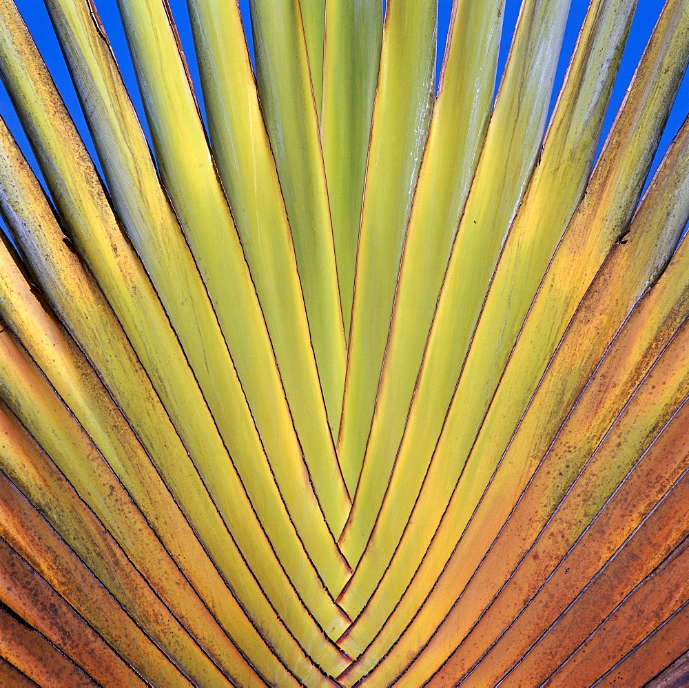 Leaf of the tree of the traveler, Ravenala madagascariensis, rare type of a fan palm