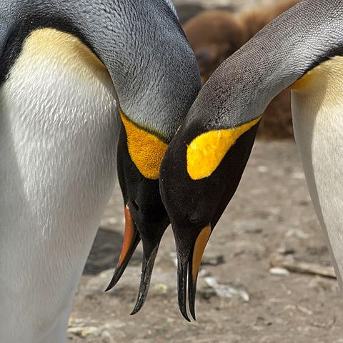Couple of King penguins (Aptenodytes patagonicus), St. Andrews Bay, South Georgia Island
