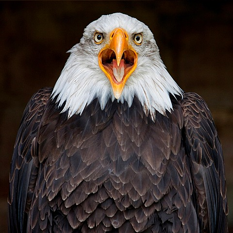 Bald eagle (Haliaeetus leucocephalus), Kranichfeld, Thuringia, Germany, Europe