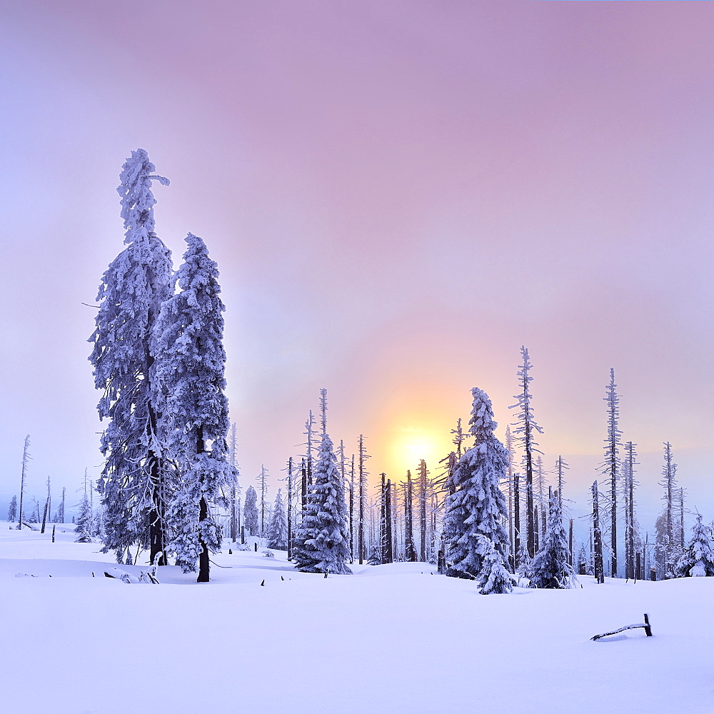 Sunset on the mountain Großer Rachel in winter, spruces covered with snow and spruces dead by bark beetle infestation, Bavarian Forest National Park, Bavaria, Germany, Europe