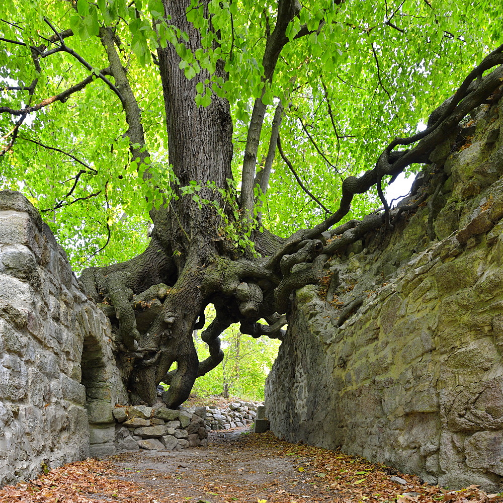 Old linden tree growing on the walls of a castle ruin, roots forming a gate, Lauenburg, Harz, Saxony-Anhalt, Germany, Europe