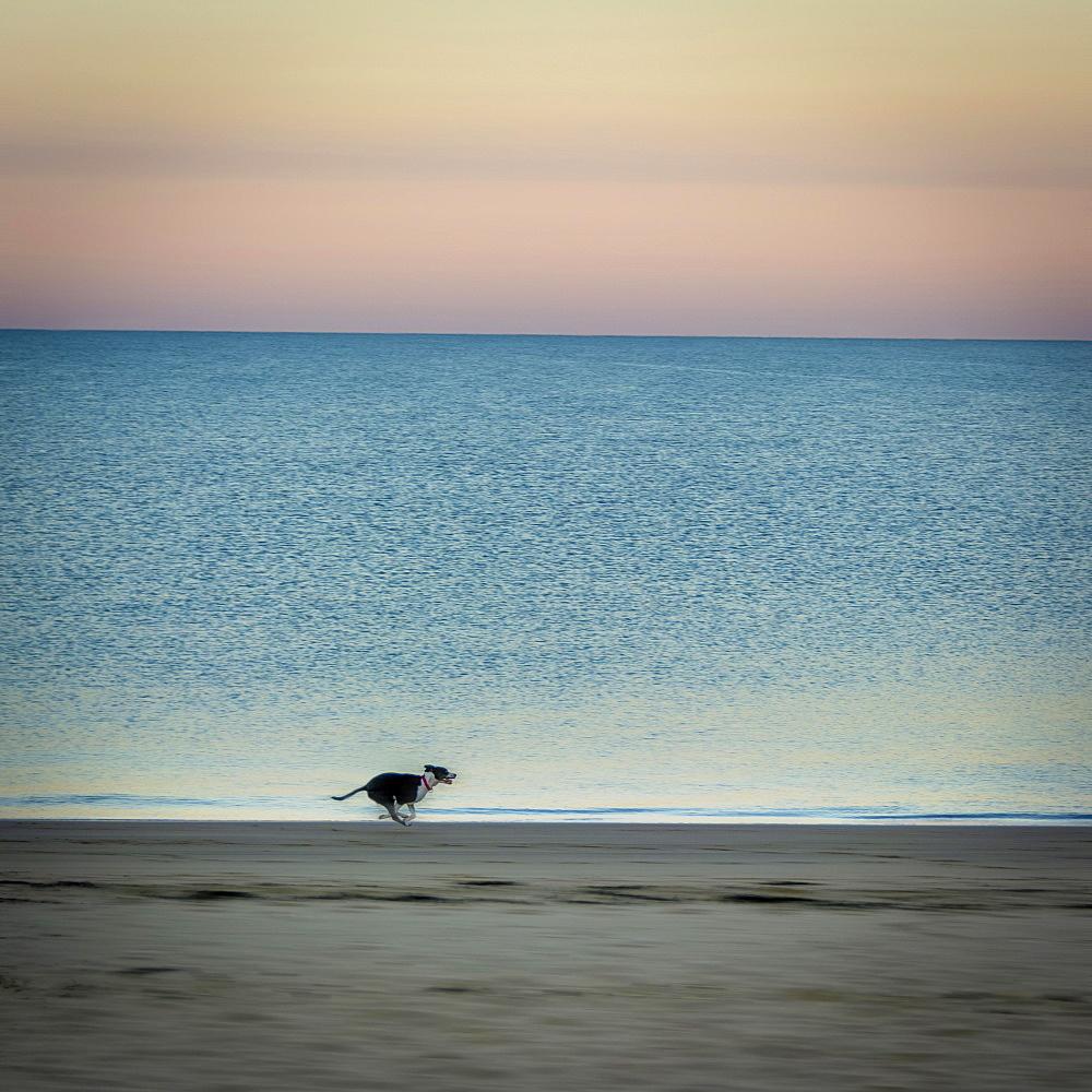 Dog on beach at sunrise, Chatelaillon-Plage near La Rochelle, Charente-Maritime department, Nouvelle-Aquitaine, France, Europe - 832-383054