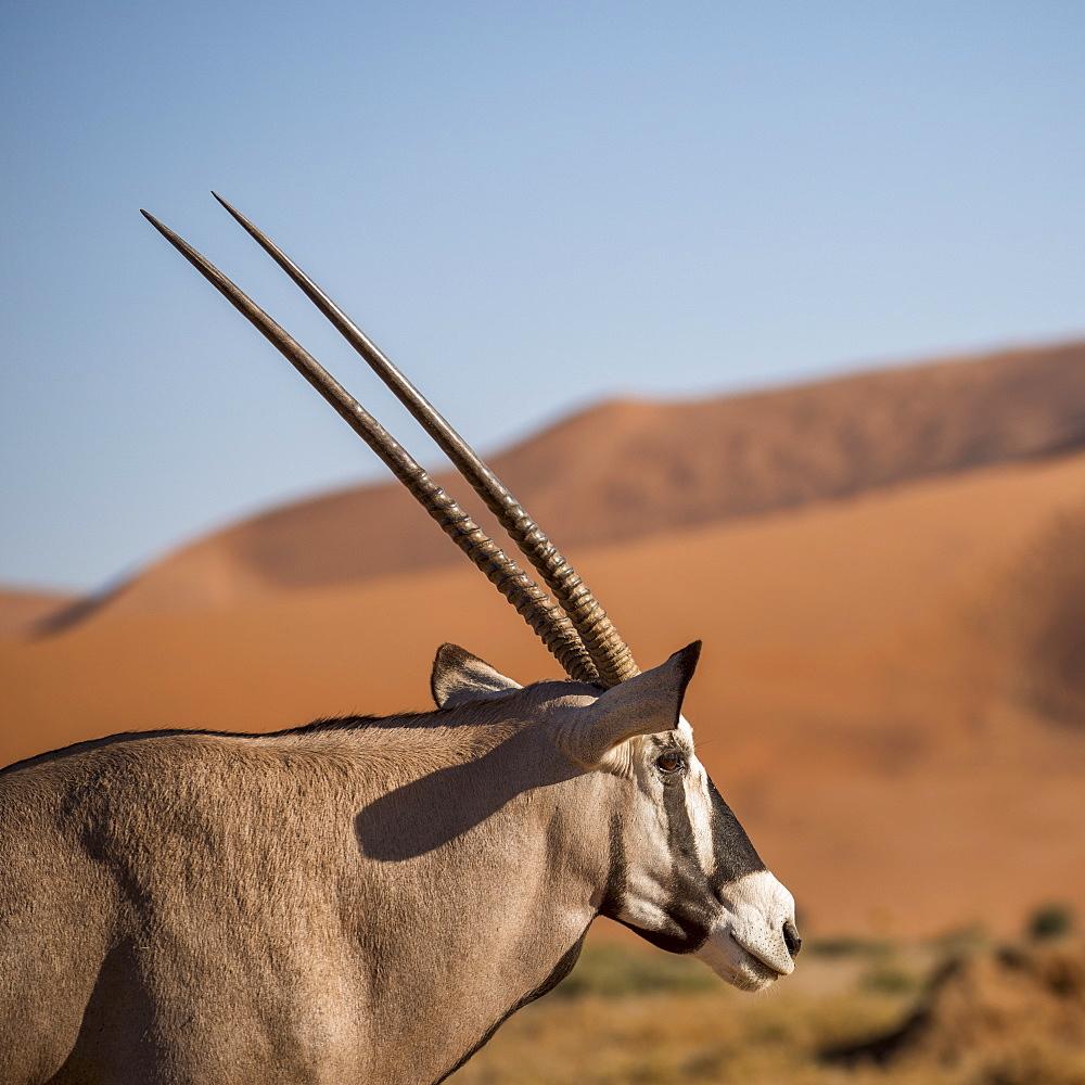 Gemsbok (Oryx gazella) at Sossusvlei dunes, Namib Naukluft, Namibia, Africa