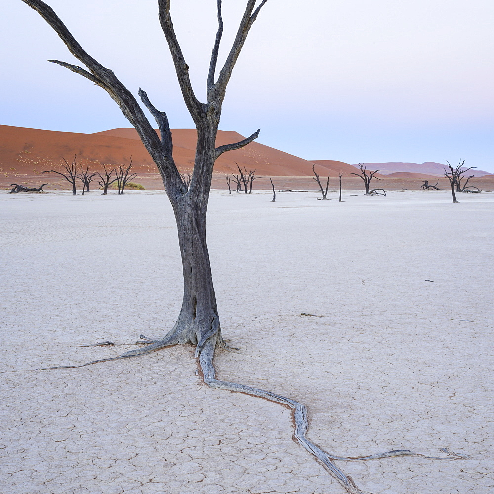 The gentle light of dawn on the Camelthorn trees of Deadvlei,  Namib Naukluft, Namibia, Africa