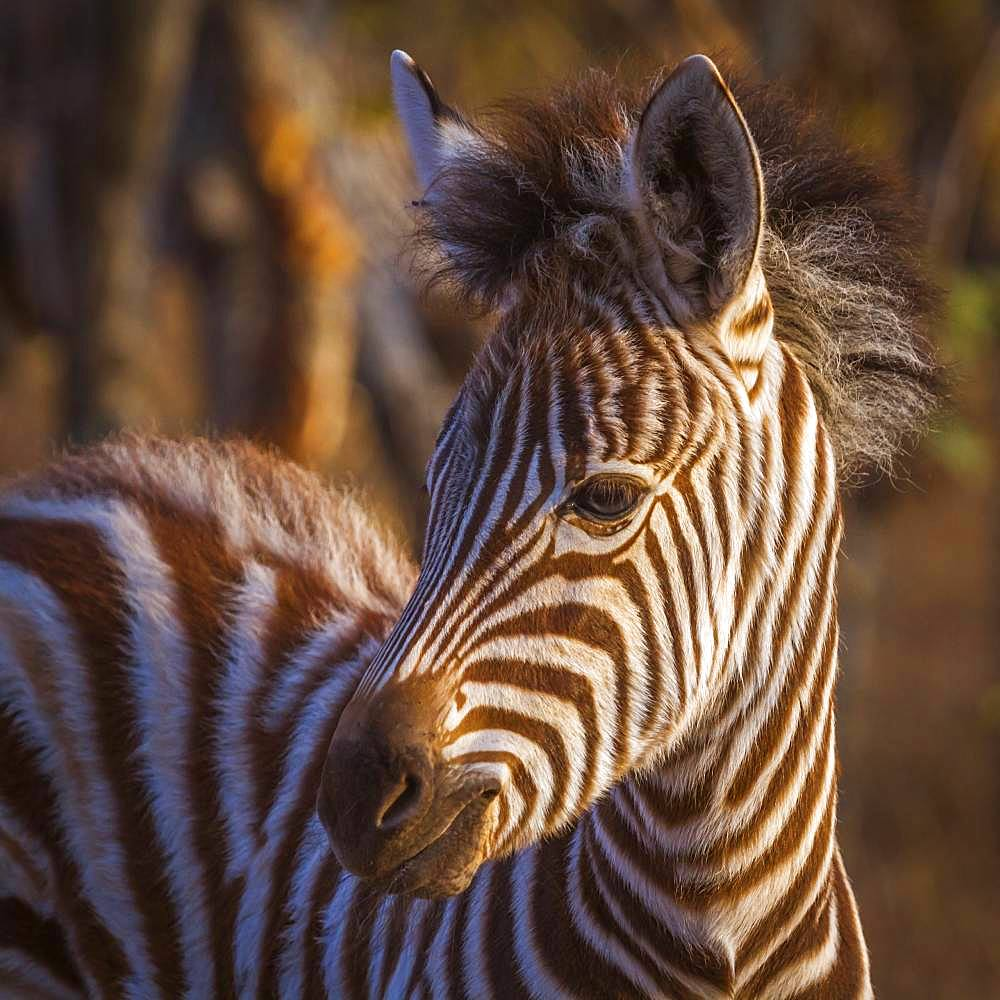 Plains zebra (Equus quagga burchellii), Kruger National park, South Africa