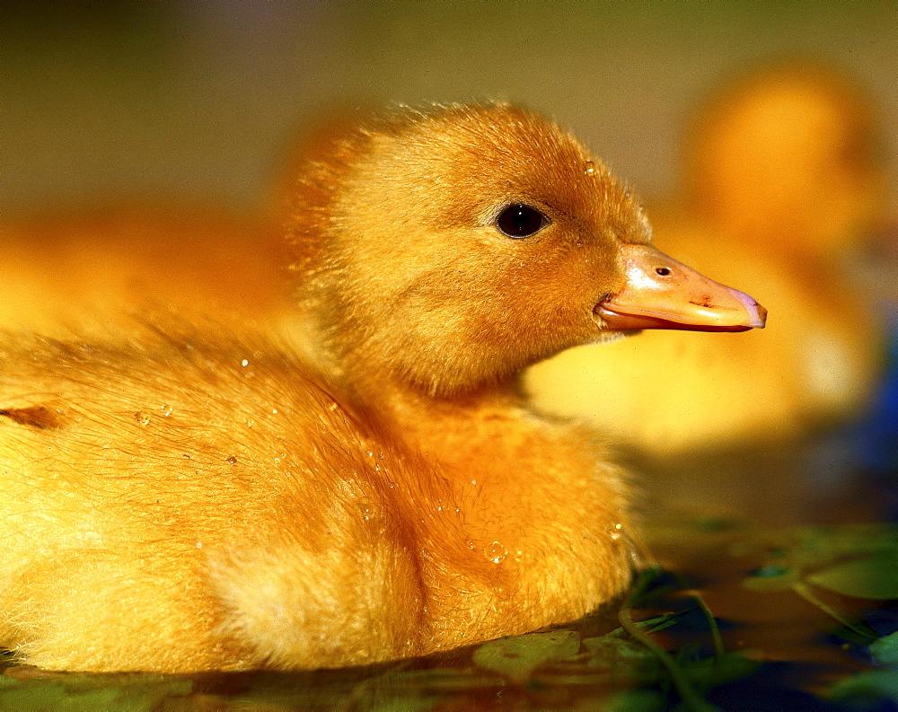 ducks duck duckling swimming - 869-206