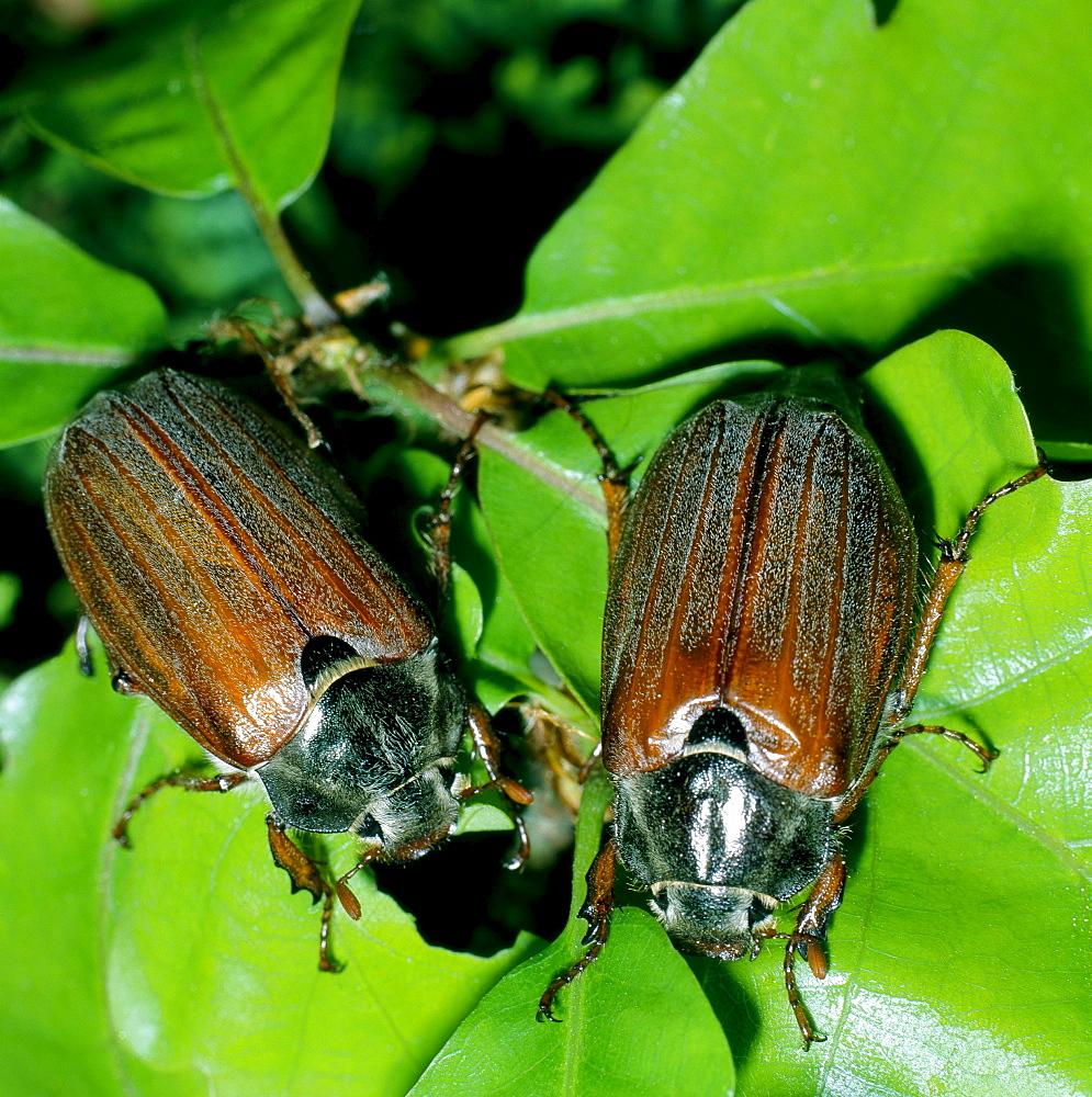 cockchafer or may bug two chockchafers feeding on green leaf Saxony Germany