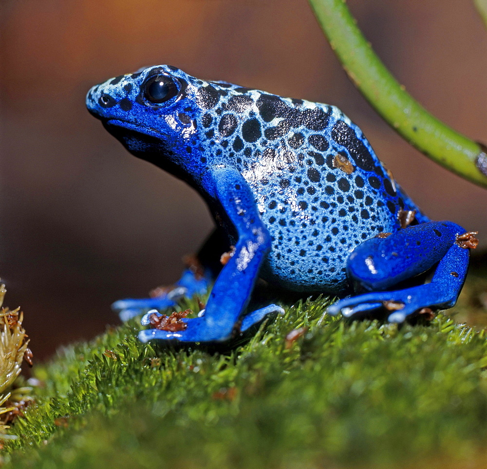 poison arrow frog or blue poison frog blue frog sitting on moss zoo Leipzig Saxony Germany - 869-3027