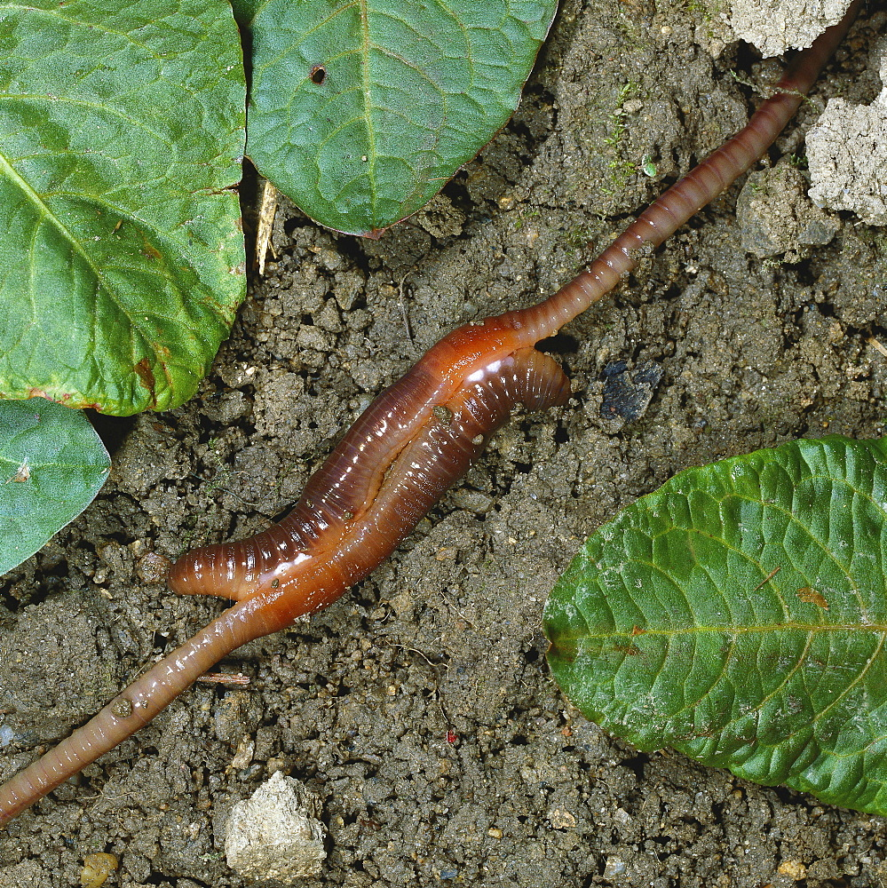 common earthworm or nightcrawler earth worm