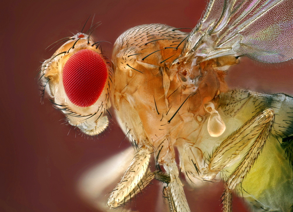 common fruit fly fruit fly lateral view