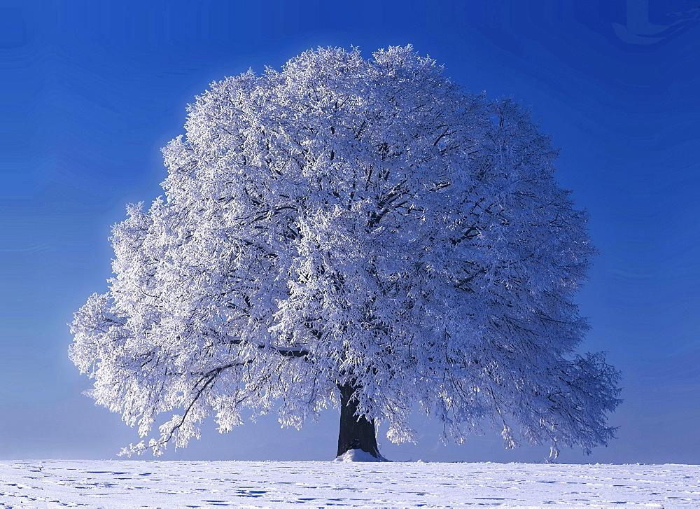littleleaf linden or small-leaved lime linden tree in winter