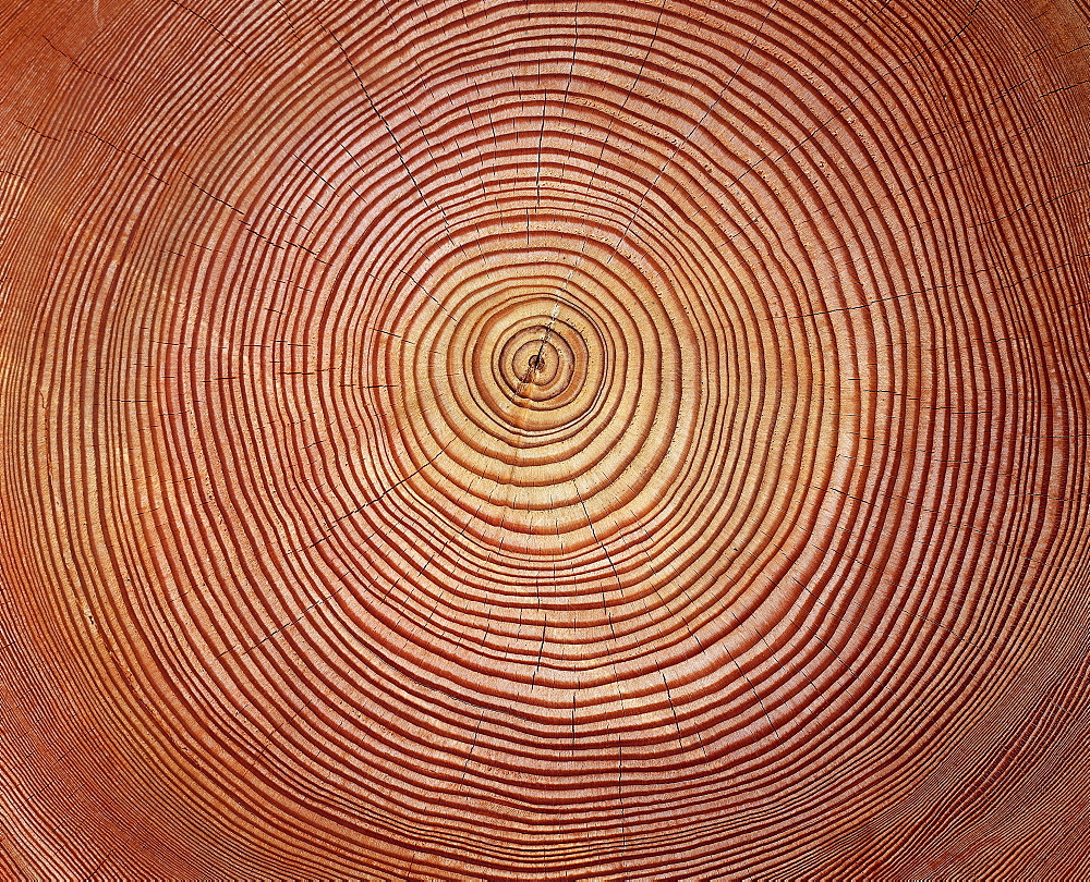 trees cross section of larch with annual rings