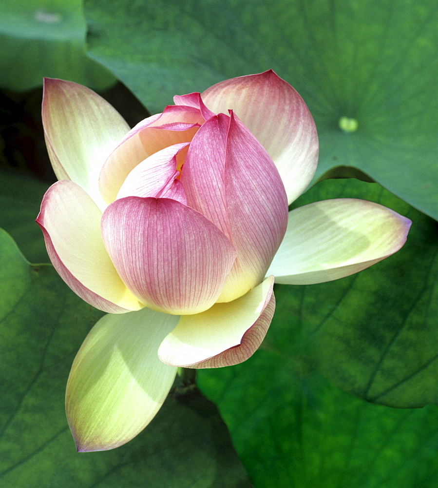 indian lotus blossom