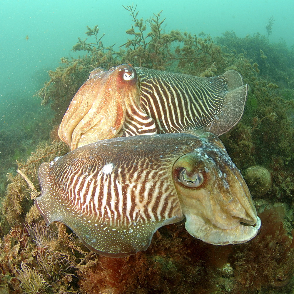 Common Cuttlefish (Sepia officinalis). Pair amongst seaweed, on seabed.