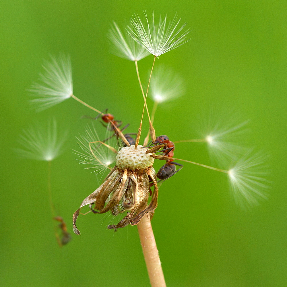 Skydivers. Nature, Moldova, ant, ants, insect, summer, Skydivers, Green,  Flower, three, Seed