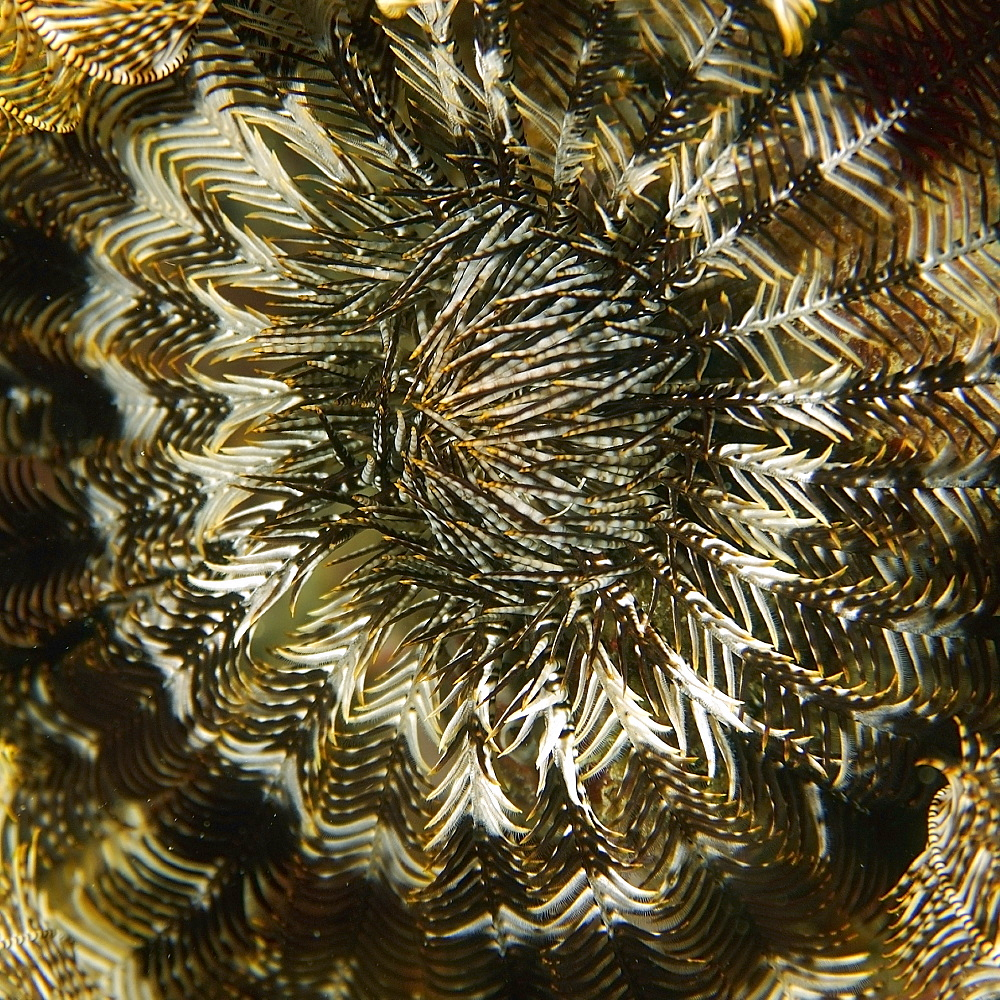 Feather star (Comanthina schlegelii), Small La Laguna, Puerto Galera, Mindoro, Philippines, Southeast Asia, Asia