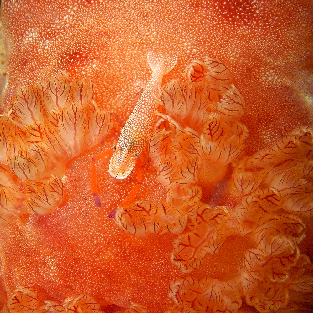 Emperor shrimp (Periclimenes imperato) next to gills of spanish dancer (Hexabranchus sanguineus) at night, Puerto Galera, Mindoro, Philippines, Southeast Asia, Asia