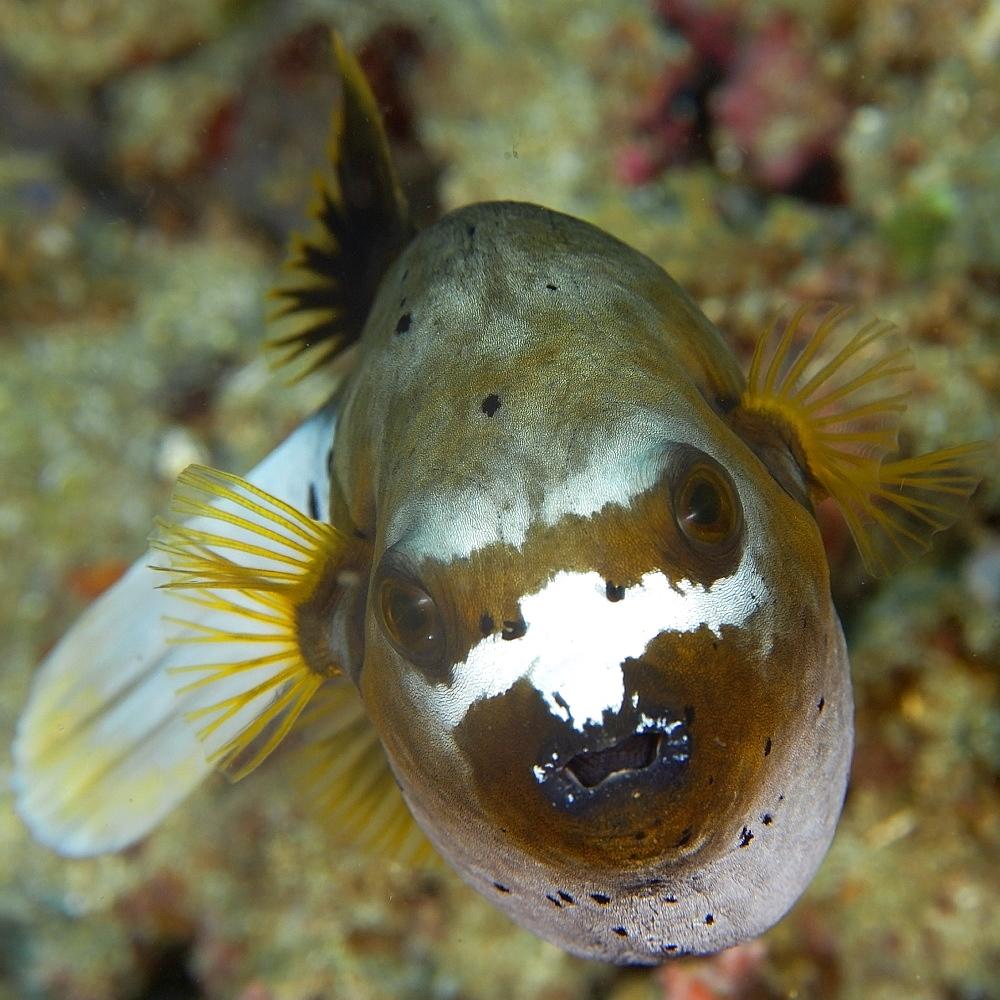 Blackspotted puffer fish (Arothron nigropunctatus), Sinandigan wall, Puerto Galera, Mindoro, Philippines, Southeast Asia, Asia