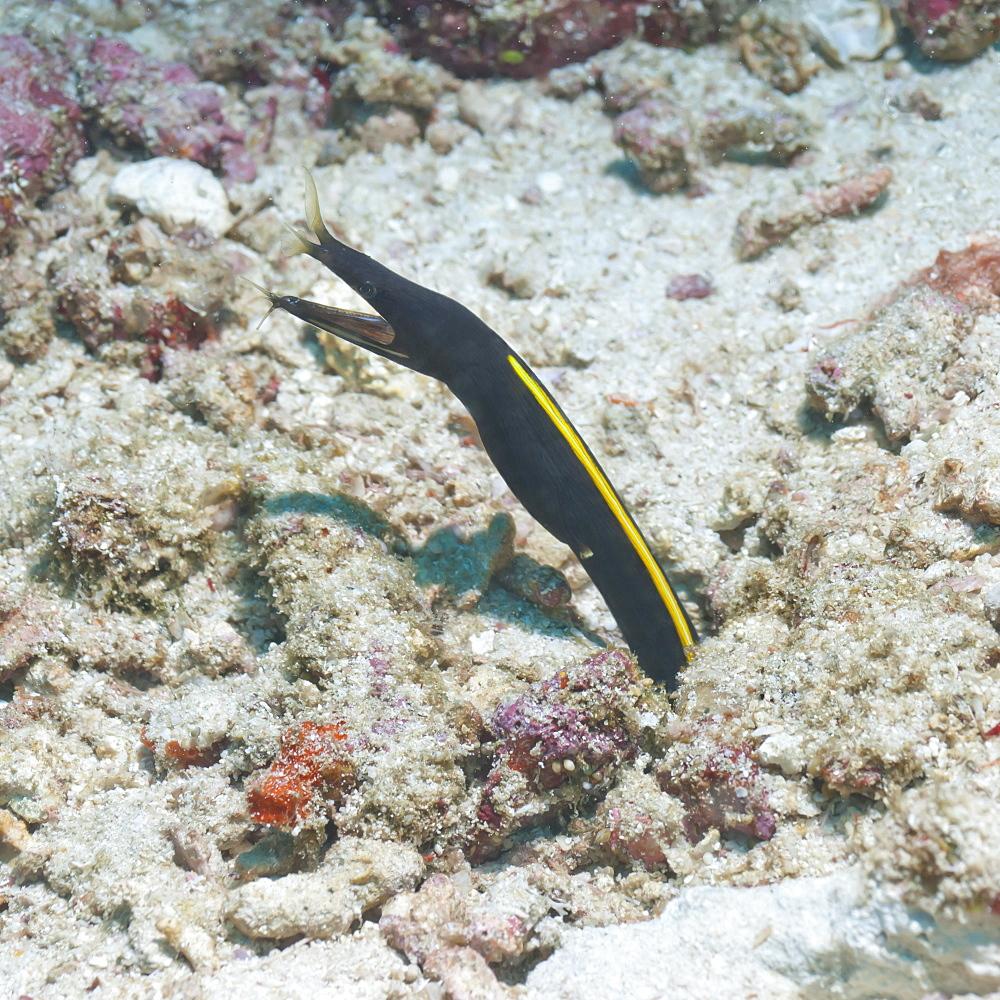 Blue Ribbon Eel (Rhinomuraena quaesita) juvenile, Southern Thailand, Andaman Sea, Indian Ocean, Asia - 921-1286