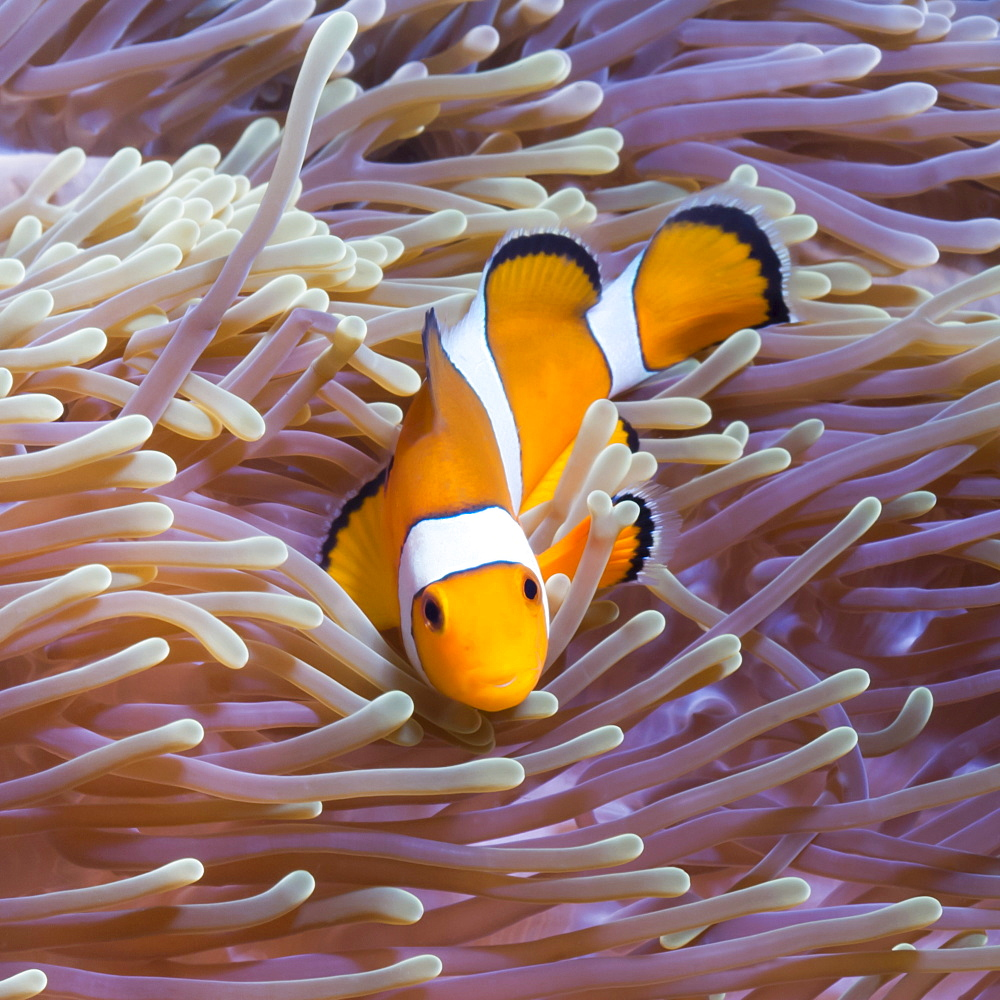 Western clown anemonefish (Amphiprion ocellaris) and sea anemone (Heteractis magnifica), Southern Thailand, Andaman Sea, Indian Ocean, Southeast Asia, Asia - 921-1350