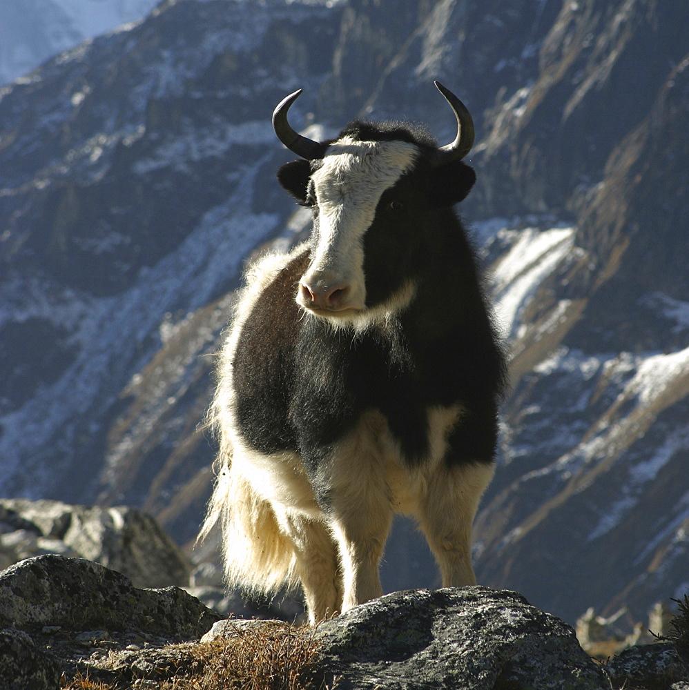 Yak. Kumbu Region, Nepal. - 986-78