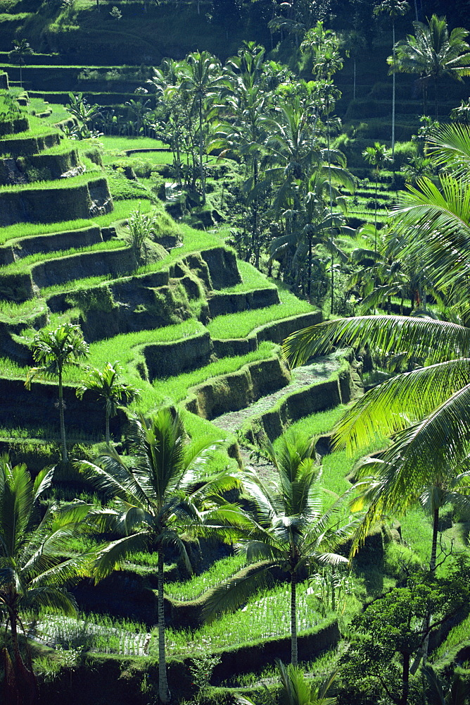 Rice terraces, Bali, Indonesia, Southeast Asia, Asia - 1-22378