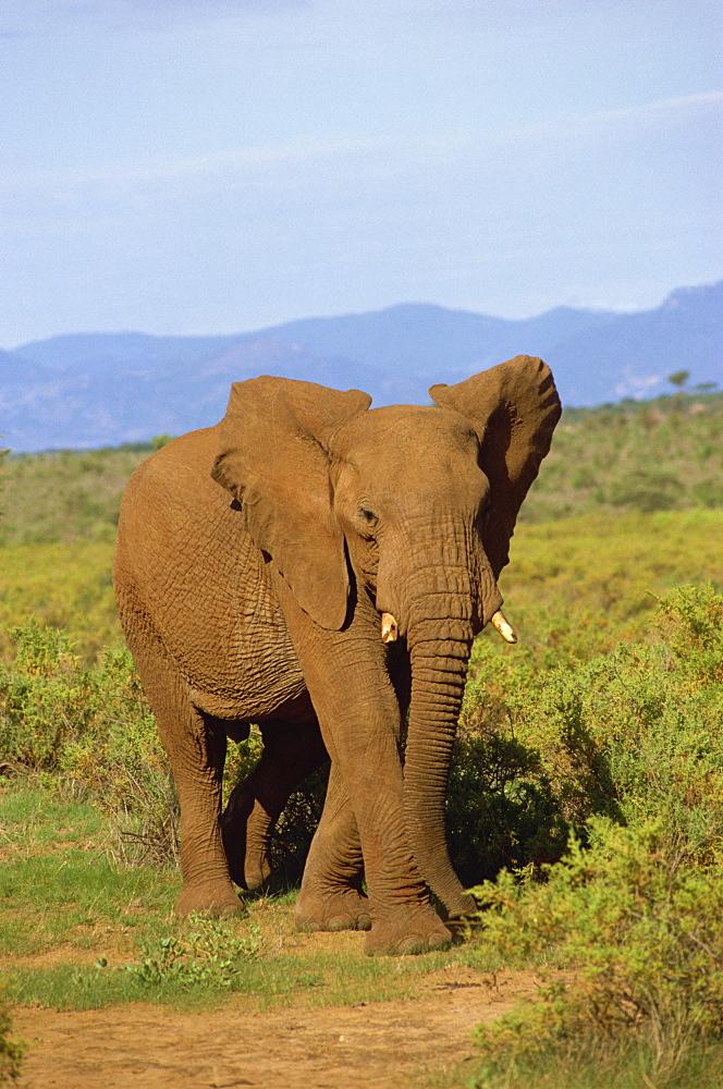 Elephant, Samburu, Kenya, East Africa, Africa - 1-24493