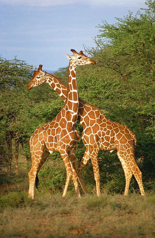 Reticulated giraffe, Samburu, Kenya, East Africa, Africa - 1-24807