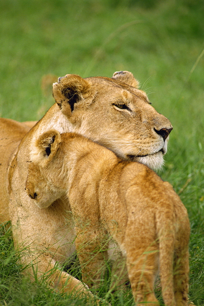Lioness and cub, Masai Mara National Reserve, Kenya, East Africa, Africa - 1-25113